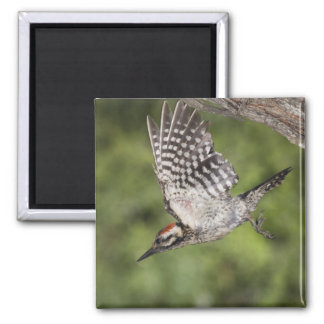 Ladder-backed Woodpecker, Picoides scalaris, 2 Inch Square Magnet