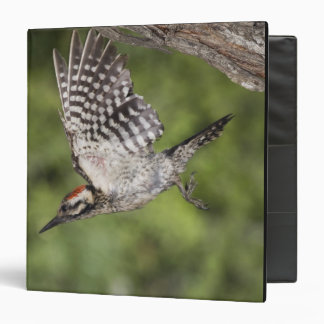 Ladder-backed Woodpecker, Picoides scalaris, 3 Ring Binder