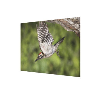 Ladder-backed Woodpecker, Picoides scalaris, Canvas Print