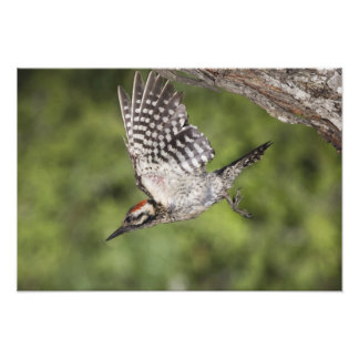 Ladder-backed Woodpecker Picoides scalaris Photo Print
