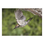 Ladder-backed Woodpecker, Picoides scalaris, Photograph
