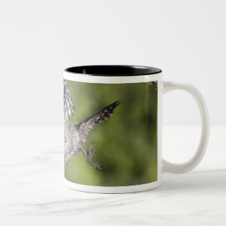Ladder-backed Woodpecker, Picoides scalaris, Two-Tone Coffee Mug