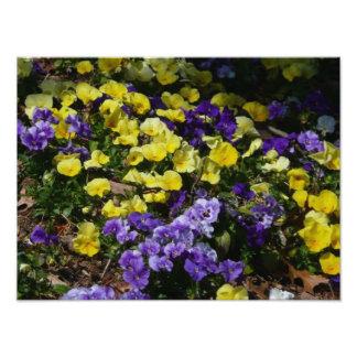 Ladera de pensamientos púrpuras y amarillos fotografía