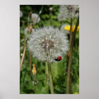 lady beetle - ladybird on dandelion poster