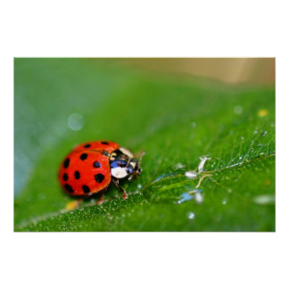 Lady Bug Canvas Poster