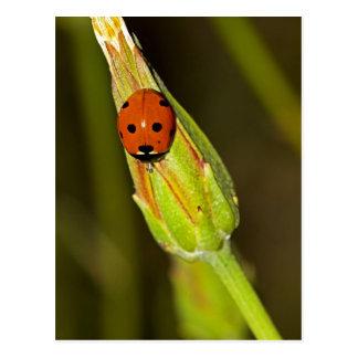 Lady Bug on Flower Bud Postcard