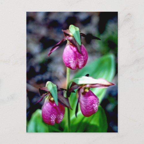 Lady Slipper I, Pink Green Garden Delight Postcard