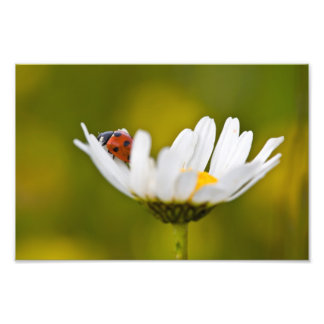 Ladybird in Oxeye Daisy - Photo Print