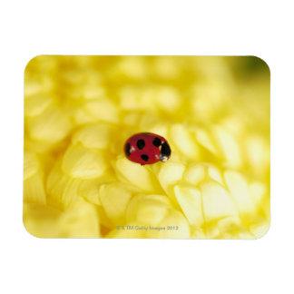 Ladybird on a yellow chrysanthemum rectangular magnet