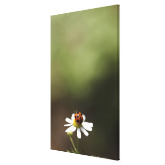 Ladybird on Chamomile Flower Canvas Print