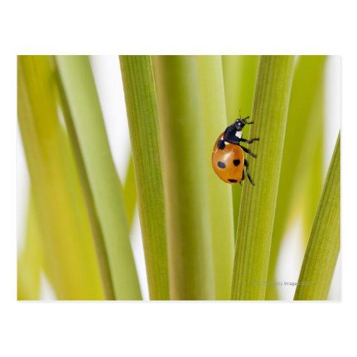 Ladybird on plant stems postcard