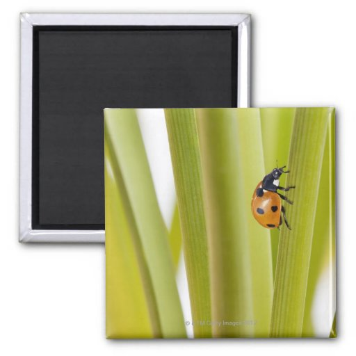 Ladybird on plant stems refrigerator magnet