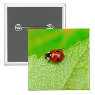 Ladybird walking across a leaf pinback button