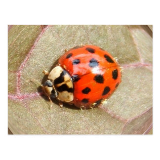 Ladybug 226 ~ postcard