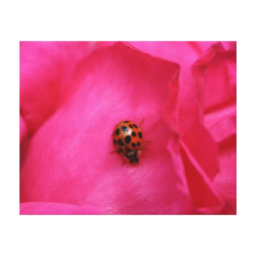 Ladybug and the Rose Canvas Print