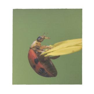 Ladybug Beetle, Coccinellidae, adult on flower, Notepad
