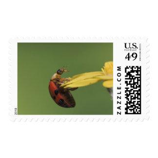 Ladybug Beetle, Coccinellidae, adult on flower, Postage