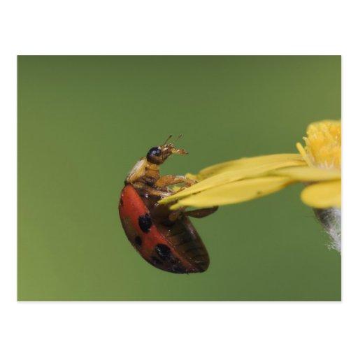 Ladybug Beetle, Coccinellidae, adult on flower, Post Cards