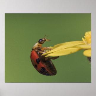 Ladybug Beetle, Coccinellidae, adult on flower, Poster