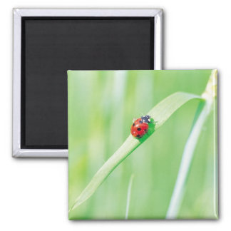 Ladybug in the Grass 2 Inch Square Magnet