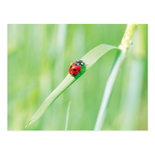 Ladybug in the Grass Postcard