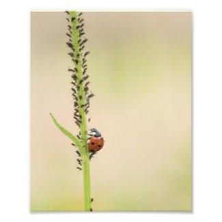 Ladybug Insect With Aphods Photo Print