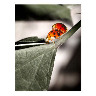 Ladybug Love! Postcard