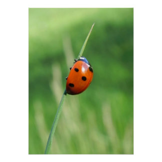 Ladybug on a blade of grass Poster
