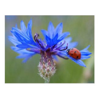 Ladybug on a blue cornflower postcard
