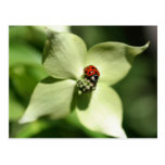 Ladybug On Dogwood Flower Nature Postcard