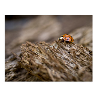 Ladybug on old wood, Apalachicola Bluffs and Postcard
