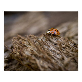 Ladybug on old wood, Apalachicola Bluffs and Poster