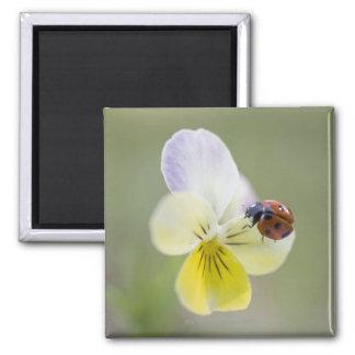 Ladybug on pansy, Biei, Hokkaido, Japan 2 Inch Square Magnet