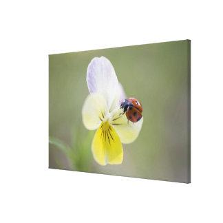 Ladybug on pansy, Biei, Hokkaido, Japan Canvas Print