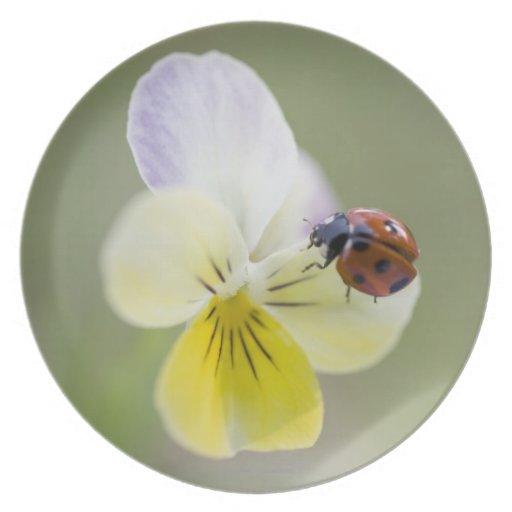Ladybug on pansy, Biei, Hokkaido, Japan Plates