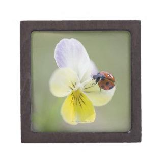 Ladybug on pansy, Biei, Hokkaido, Japan Premium Gift Boxes