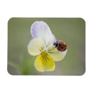 Ladybug on pansy, Biei, Hokkaido, Japan Rectangular Photo Magnet
