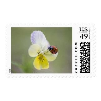 Ladybug on pansy, Biei, Hokkaido, Japan Stamp