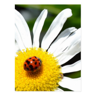 Ladybug Photography Postcard