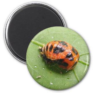 Ladybug Pupa ~ magnet