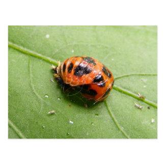 Ladybug Pupa ~ postcard
