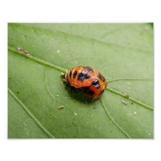 Ladybug Pupa ~ print