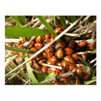 Ladybugs (Coccinellidae) Postcard