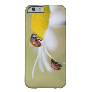 Ladybugs on an oxeye daisy, Biei, Hokkaido, Barely There iPhone 6 Case