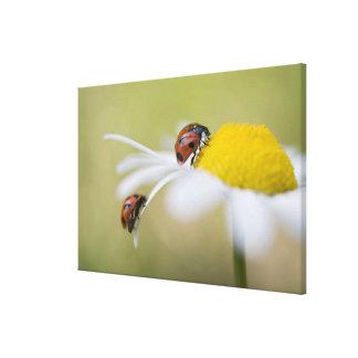 Ladybugs on an oxeye daisy, Biei, Hokkaido, Canvas Print