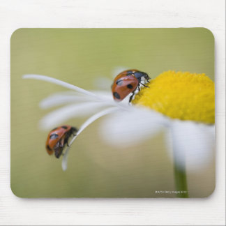 Ladybugs on an oxeye daisy, Biei, Hokkaido, Mouse Pad