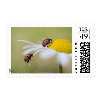 Ladybugs on an oxeye daisy, Biei, Hokkaido, Postage