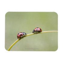 Ladybugs on stem, Biei, Hokkaido, Japan Magnet