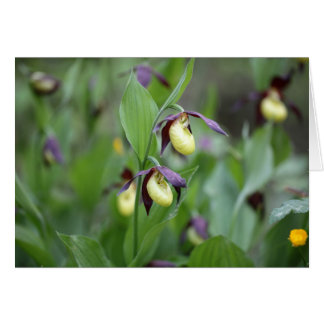 Ladys slipper Orchids (Cypripedium calceolus) Card
