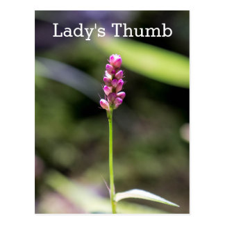 Lady's Thumb Pink Wildflower Floral Postcard